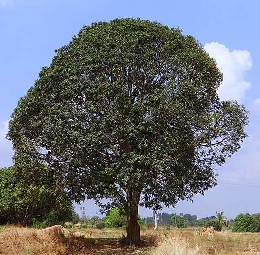 "Mango tree is a evergreen tree that belong to the genus Mangifera, family of Anacardiaceae. Mangoes are native to South Asia, from where the ""common mango"" or ""Indian mango"""