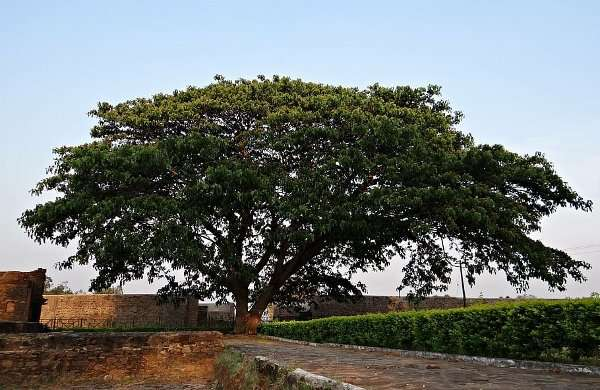 Suar wood also known as Rain tree