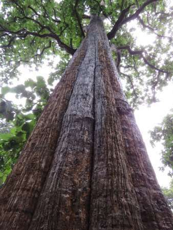 Teak wood also known as Jati in Indonesian